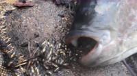 将2条大鱼捞上岸后,竟然从嘴里吐出东西,镜头记录下全程!