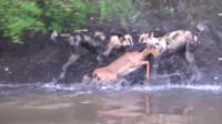 羚羊为躲避野狗追杀,快速游到河对面,没想到下场更惨!
