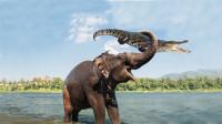 大象河边喝水被鳄鱼袭击,犹如钓鱼一般拉起鳄鱼,镜头拍下全过程