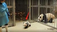 """小熊猫偷偷""""越狱""""逃跑,被饲养员送回笼子后,接下来画面太精彩"""