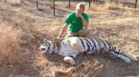 饲养员让母老虎喂奶,小老虎则在一旁捣乱,着实是让人头疼