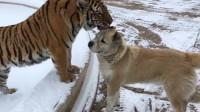 狗狗去看望一起长大的老虎兄弟,画面催人泪下,镜头记录全过程