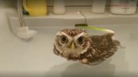 主人的洗手池被猫头鹰霸占,无奈只能放水,猫头鹰的反应承包我一年萌点