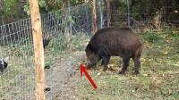 野猪闯入居民后院找吃的,不料碰到电线上,镜头拍下搞笑画面