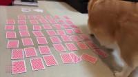 主人在玩扑克,柯基跑来跑去竟捣乱,柯基能跟我玩会不