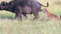 """落单野牛遭到鬣狗围攻,一招""""掏肛""""下去,野牛再也没有站起来!"""