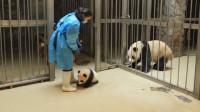 小熊猫越狱被奶妈发现,熊猫妈妈的反应,让人大笑
