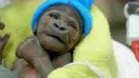 猩猩和婴儿一起长大,并认为自己是人类,9个月后科学家终止实验