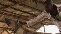 厉害的鬣狗为什么会怕非洲的人类?看完满满的心酸,镜头记录全过程