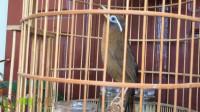 早上起来听到画眉鸟在愉快地唱歌,让人心情大好!