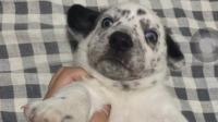 斑点狗和柯基的结合得长啥样?网友:柯基的短腿基因果然没让人失望!