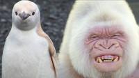 盘点世界极度稀有的五种白化动物!近亲基因的大猩猩,能看到心的海龟