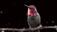 世界上最迷你的鸟仅蜜蜂大小体重与硬币差不多