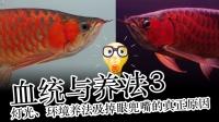 周鱼说鱼 血统与养法3 灯光、环境养法及龙鱼掉眼兜嘴的真正原因 第九期