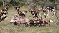 10只非洲野狗将一头疣猪掏肛,痛到无法呼吸,镜头拍下残忍全过程