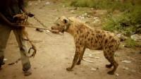 鬣狗为什么害怕非洲人?短短一分钟的视频,看的心酸不已