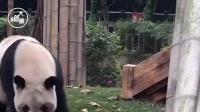 大熊猫第一次见到自己的宝宝,初为熊母惶然无措,接下来忍不住想笑