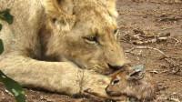 母狮抓到刚出生的小鹿,几次想吃却忍住了,最后看着太暖心了