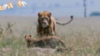 面对狮子的威胁,猎豹母亲如何保护5只幼崽,女本柔弱为母则刚