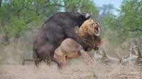 狮子正在睡觉,不料被一头野牛撞见,下一秒悲剧了!