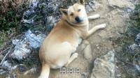 中华田园犬,露露妈妈又怀孕了,看这体型大概会生几只呢?