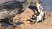 鱼鹰见到鱼就疯了,抓了条清道夫会回来,结果吃到怀疑鸟生