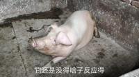 猪圈换了三个,老母猪却还没动静,这是哪里出现问题