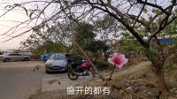 湖南龙弟:大冬天的桃花盛开,这是什么情况?