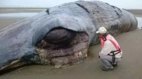 鲸鱼一心求死,拼命往岸上游,专家剖开肚子后发现原因