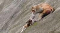 最狠心的猴子妈妈,亲手把儿子送下悬崖,小猴崩溃:说好来玩的呢?
