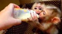 饿到吮手指的两只小猴子,却发现只有一个奶瓶