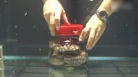 不可思议! 章鱼被关玻璃罐中,智商在线从里扭开盖子逃脱
