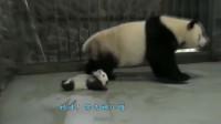 熊猫:团子妈妈与奶爸斗智斗勇,但还是输给了意志力不够坚定啊