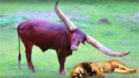 狮子正在睡觉,谁知被一头野牛碰到,结果悲剧了!