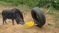 越南小伙自制陷阱,抓了一头野猪,网友:看到那头猪后吓到我了