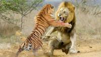 东北虎打趴非洲雄狮,互相锁喉,镜头记录激烈过程