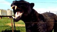 地球上最凶猛的动物,能够轻松打败狮子和老虎,它究竟是什么