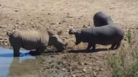 犀牛挑衅2只河马,下一刻河马疯狂报复,犀牛真是太惨了