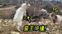 四川方言动物配音:当山羊打架讲起了四川话,这口音笑得肚儿痛!