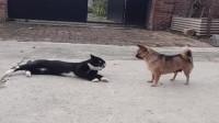 大黑猫想用气势碾压狗子,没想到狗子居然会回首掏,这走位厉害了