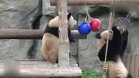熊猫芊金和雪宝开心找吃的,两个小胖墩儿可爱得让人抓狂