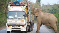 大象造成交通堵塞,竟是为了抢甘蔗,这架势一看就没少干!