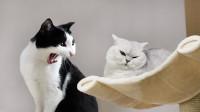 抢不赢地盘,猫咪在菜板上尿尿报复,主人不生气还给奖励!