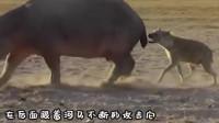 鬣狗想吃4吨重的河马,经过讨论只用一招,就让河马见不到太阳!