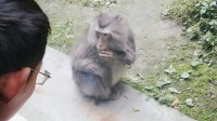 眼镜哥对猴哥情有独钟一动不动,成都动物园的猴子很可爱,猴子吃东西动作很像人类