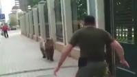 棕熊越狱出逃,被男子一脚踢到墙上,镜头记录下全过程