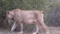 母狮失去尾巴无法奔跑,狮群无情将它赶走,还能生存下去吗