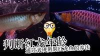 周鱼说鱼 如何判断红龙鱼年龄 通过表现看养法 第十一期