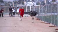 黑人小伙与鸵鸟赛跑,结果被开挂的鸵鸟完爆,镜头记录全过程