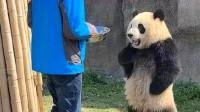 继熊猫叉腰之后,熊猫宝宝求抱抱又火了,网友:谁顶得住啊